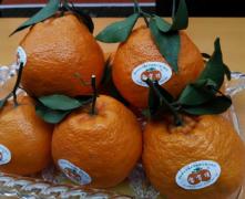 四川眉山柑橘代办