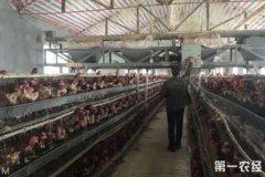 荆门农民自学技术 带领村民养鸡致富