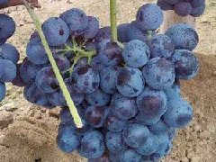 晋州市葡萄代收