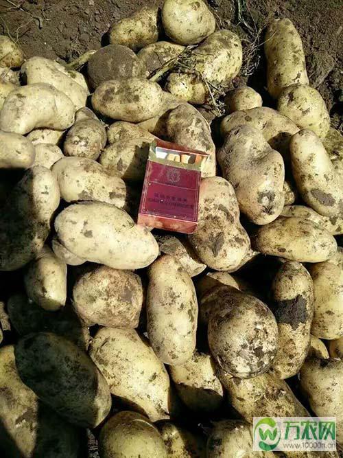 内蒙古土豆产地_内蒙古土豆批发,多伦土豆多伦上市!_产地农产品信息网