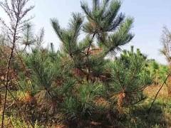 黑松苗10000棵,1.8—3米的