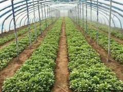 山东德州夏津红薯苗基地
