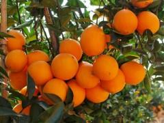 批发湖北秭归脐橙