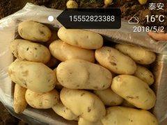 山东肥城土豆大量供应出售