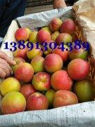 杏子-陕西丰园红杏产地价格,金太阳杏产地批发上市价格