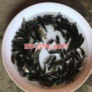 山东济南亲亲鱼批发价格,浙江温州军鱼苗养殖基地