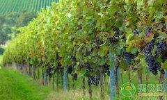 -葡萄怎么高效施肥?葡萄需肥特点与施肥技巧
