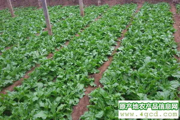 """这种新型""""水晶蔬菜"""",已成为餐桌新贵(附冰菜种植方法)"""