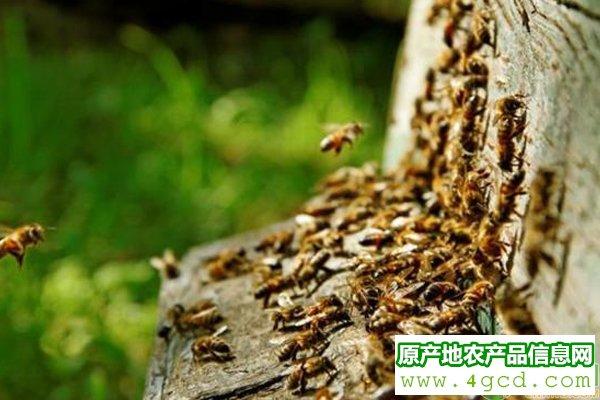 蜜蜂养殖:蜂群转地饲养,必须做好以下相关工作