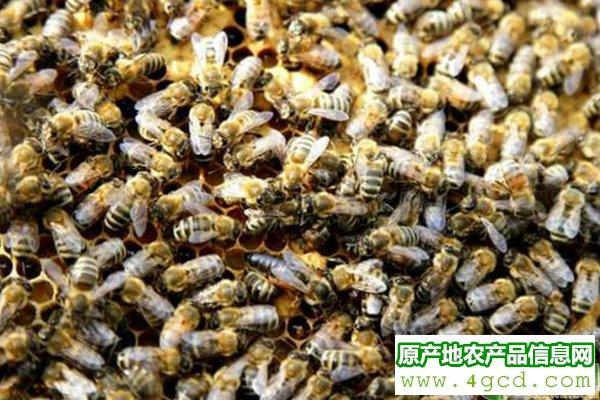 浅谈蜜蜂养殖蜂群转地饲养技巧