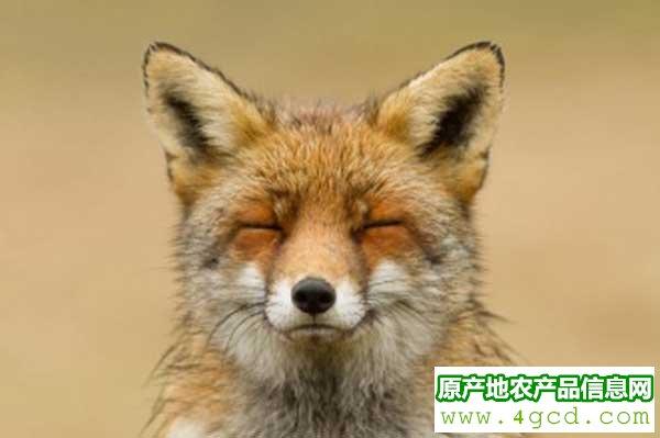 怎么做好狐狸养殖的卫生与防疫工作?