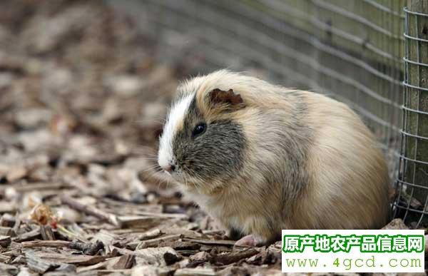 豚鼠怎么养殖?豚鼠生态养殖技术
