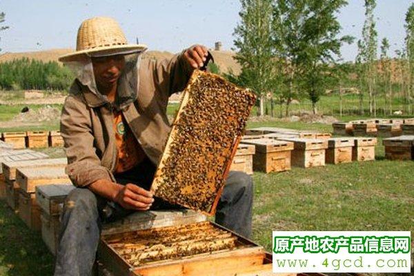 亟待解决的蜜蜂饲养技术问题