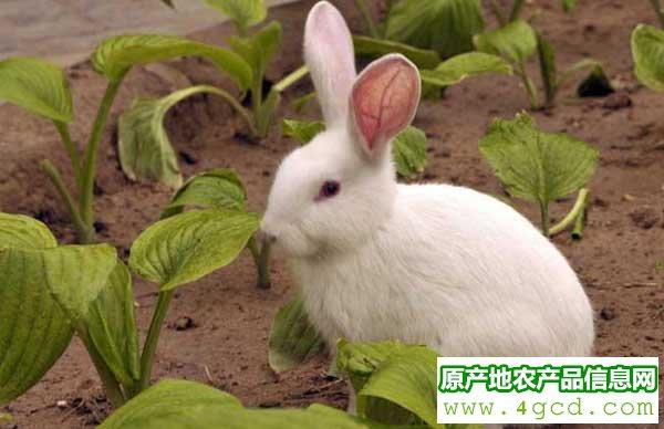 兔子养殖技巧:降低兔子养殖成本的方法