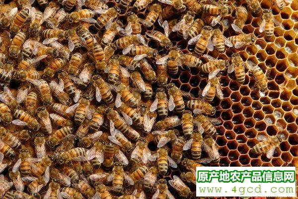 浅谈造成工蜂产卵的五个原因及应对措施
