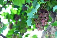-葡萄种植生产过程中常见病虫害及防治技术