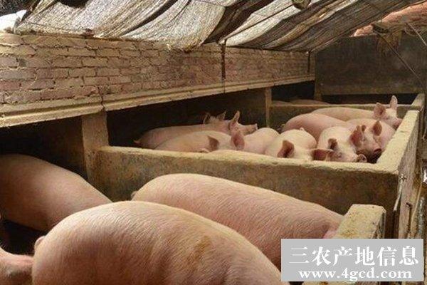 防治猪中暑
