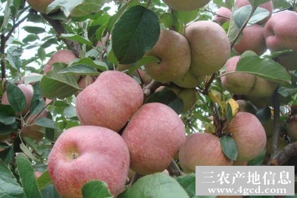 苹果烂果病的发生规律和防治
