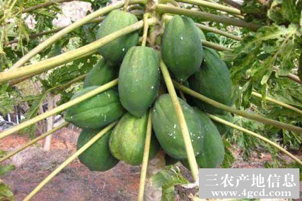 木瓜个头小的原因及处理方法