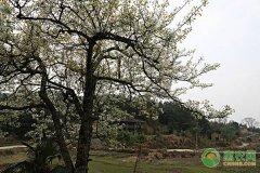 梨树现在开花了,花期前后都有哪些管理要点?