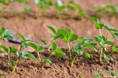 草莓育苗怎么有效管理?这四个事项要注意了!