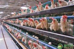 蛋鸡为何会出现啄肛现象?蛋鸡啄肛病防治措施