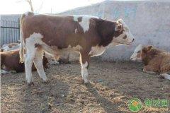 母牛繁殖成活率的提高方法和注意事项