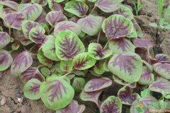 苋菜种植方法以及防虫要点