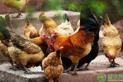 黄芪养鸡的作用好处