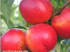 -本人所在地区有大量油桃欲出售,中油13号  4号