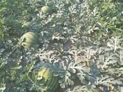 -出售自家种植西瓜10亩还有几天就可以采摘,有需