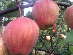 -红梨树苗