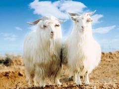 纯种山羊绒