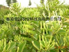 -陕西杨凌 树型金银花  金花3号