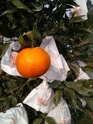 -春见(耙耙柑)销售/自家水果/绿色味好