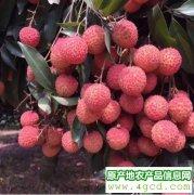 -广东增城桂味荔枝