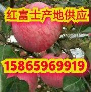 -山东红富士苹果价格 红富士苹果产地价格