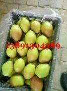 -陕西冷库框子红香酥梨产地销售价格
