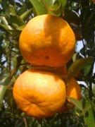 -椪柑,芦柑,脐橙专业合作社