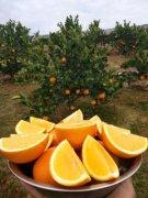 -鹿寨蜜橙皮浦肉脆,无核爽口,浓甜无酸,橙中