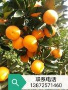 -湖北秭归脐橙、长虹、纽荷尔、血橙、锦橙等产