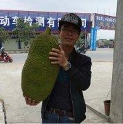 -一级大果菠萝蜜