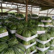 -西瓜中最好品种,即将大量上市