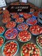 -山东甜宝草莓基地平度甜宝草莓草莓产地价格代