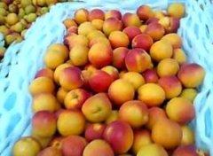 -树上干鲜杏,10万公斤,果园直供