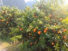 -兴坪夏橙大量有货 本人是诚信代办
