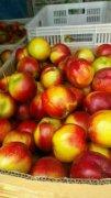 -供应万亩中油桃黄油桃价格