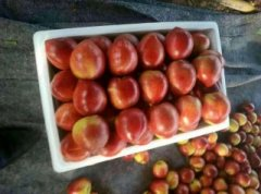 -油桃大量出售品种齐全13176070878