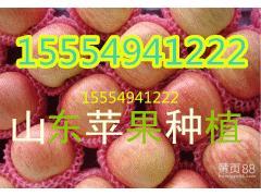 -15554941222冷库红富士苹果批发