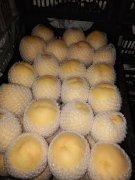 -黄金蜜毛桃价格-陕西纸袋黄金蜜毛桃产地上市价格